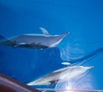 Alonissos dolphins