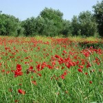 Poppy field at Kefalonia island