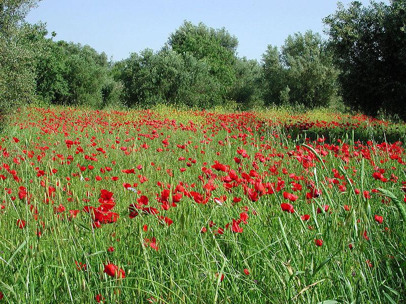 Poppy field at Kefalonia island