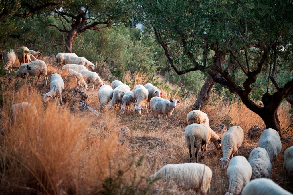 Sheep grazing in the hills around Kalamata, Messinia, Peloponnese Greece