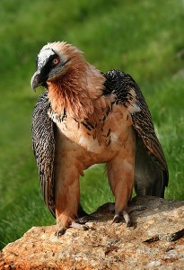 Unlike most vultures, the Lammergeier does not have a bald head.