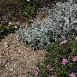 low-lying shrubs, phrygana