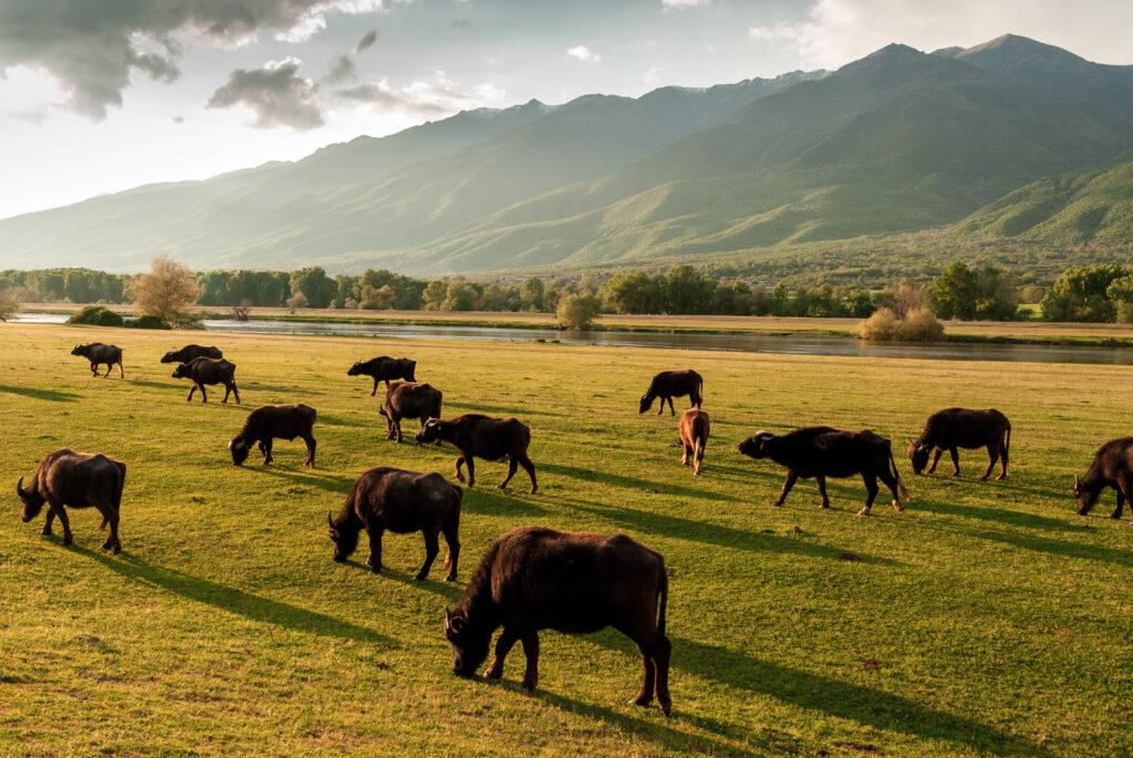 Buffaloes at sunset near Kerkini Lake in Serres, Central Macedonia Greece
