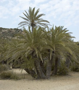 Cretan Date Palm in Vai, eastern Crete, Greece