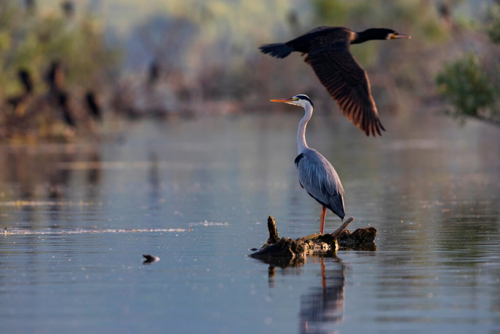 The Grey Heron standing in the shallow water of the Kerkini lake, a wetland rich in birdlife, Serres, Central Macedonia Greece
