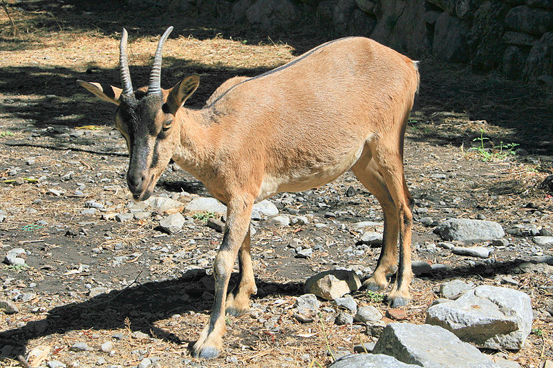 The Kri-kri (the Cretan ibex) lives in protected natural parks at the gorge of Samaria and the island of Agios Theodoros.