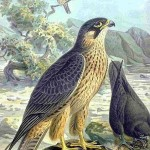 Falco eleonorae - An illustration by Naumann