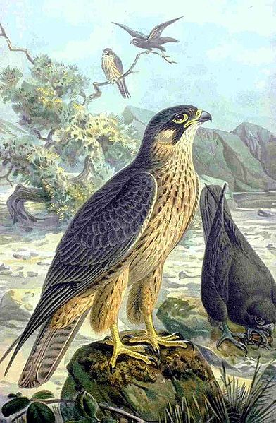Falco eleonorae - An illustration by Naumann