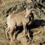 Wild goat in the Rodopi Mountains, Greece - Photo: Sotiris Lambadaridis
