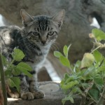 Cat on Skyros, Sporades, Greece