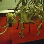 Skeleton of a Cretan Dwarf Elephant