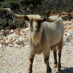 Skopelos goat, Greece