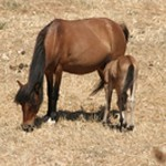 The Skyros pony, an endemic species, Sporades, Greece