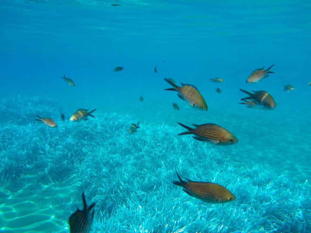 underwater-life-kalogries-damselfish-or-mediterranean-chromis-in-kolona-double-bay-kythnos-island-cyclades-greece