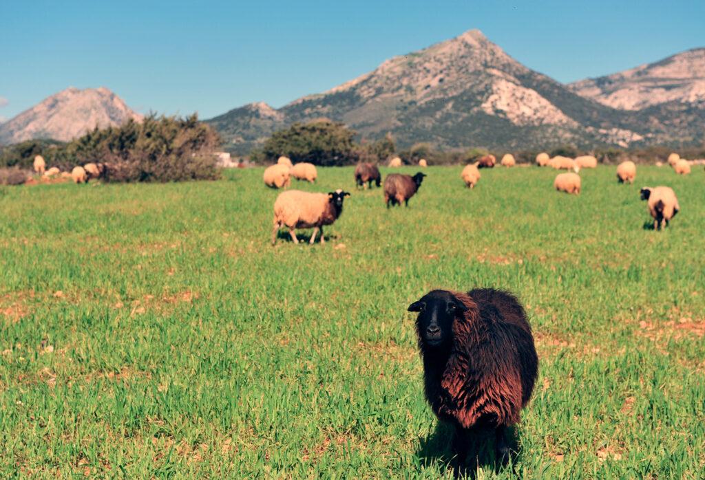 Sheep in green valley, Naxos island, Greece