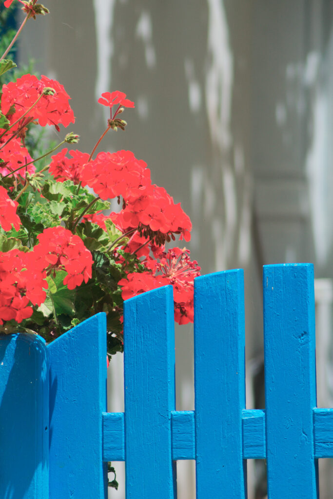Beautiful bright red flowers and a garden gate at a village house in the old town, Kastro, on a summer day. Sikinos Greece