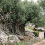 Ithaca Olivetree 1500 years old