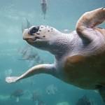 Loggerhead sea turtle, Kefalonia