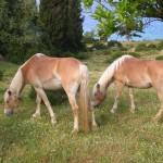 Kefalonia horses