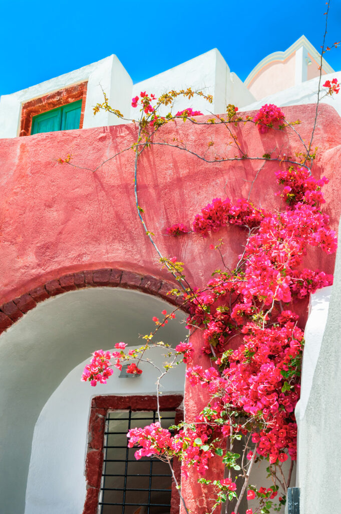 Traditional greek architecture and Bougainvillea tree with pink flowers. Santorini island, Greece.