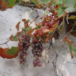 Grapes in Naxos