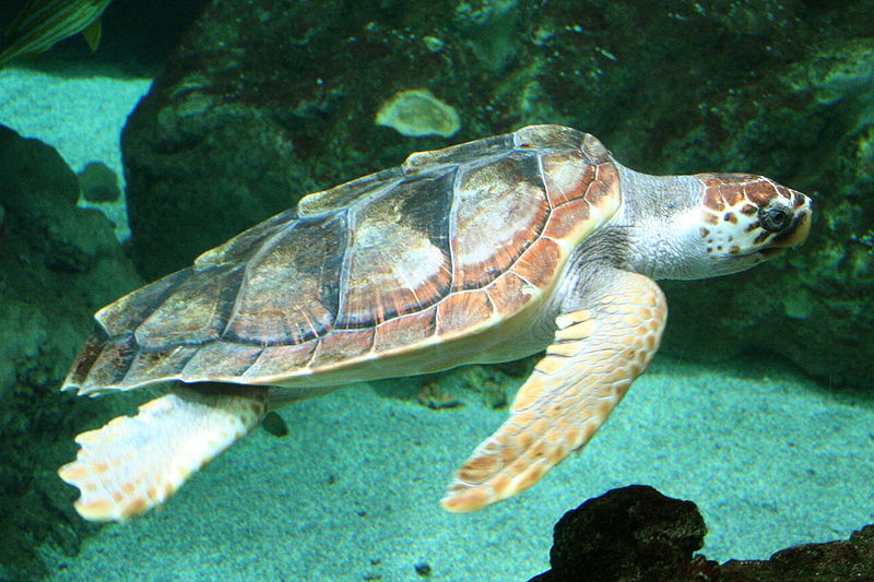 The Loggerhead seaturtle (Caretta-caretta) at Zakynthos island