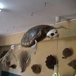 Caretta caretta. Apeiranthos Natural History Museum