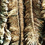 Basma tobacco drying