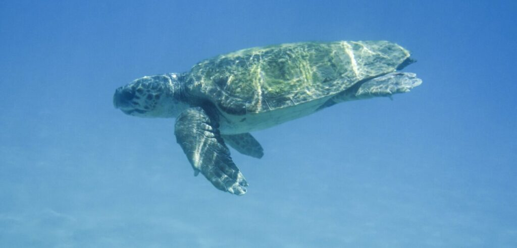 Loggerhead Sea Turtle in Zakynthos, Greece