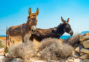 Two beautiful brown donkeys in the countryside of Kimolos Cyclades Greece