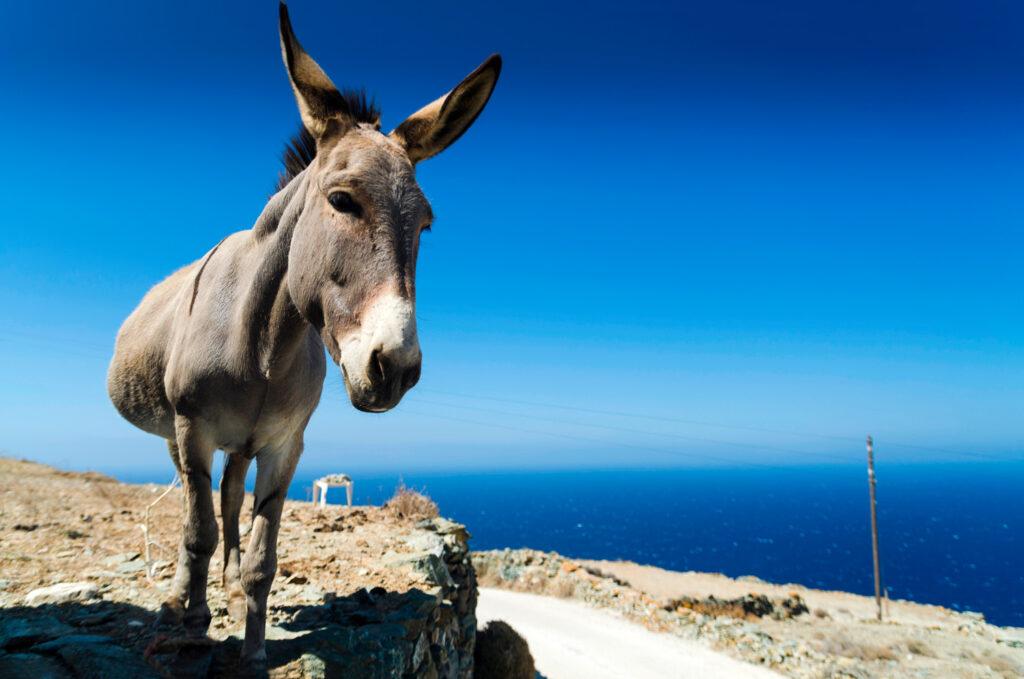 Donkey in Folegandros, Cyclades Greece