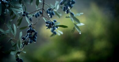 agrotourism in Greece - olive grove