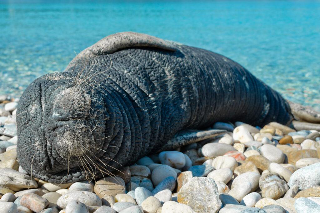 Sea calf sleeping in a beach Papa beach in Samos island, Aegean Sea Greece