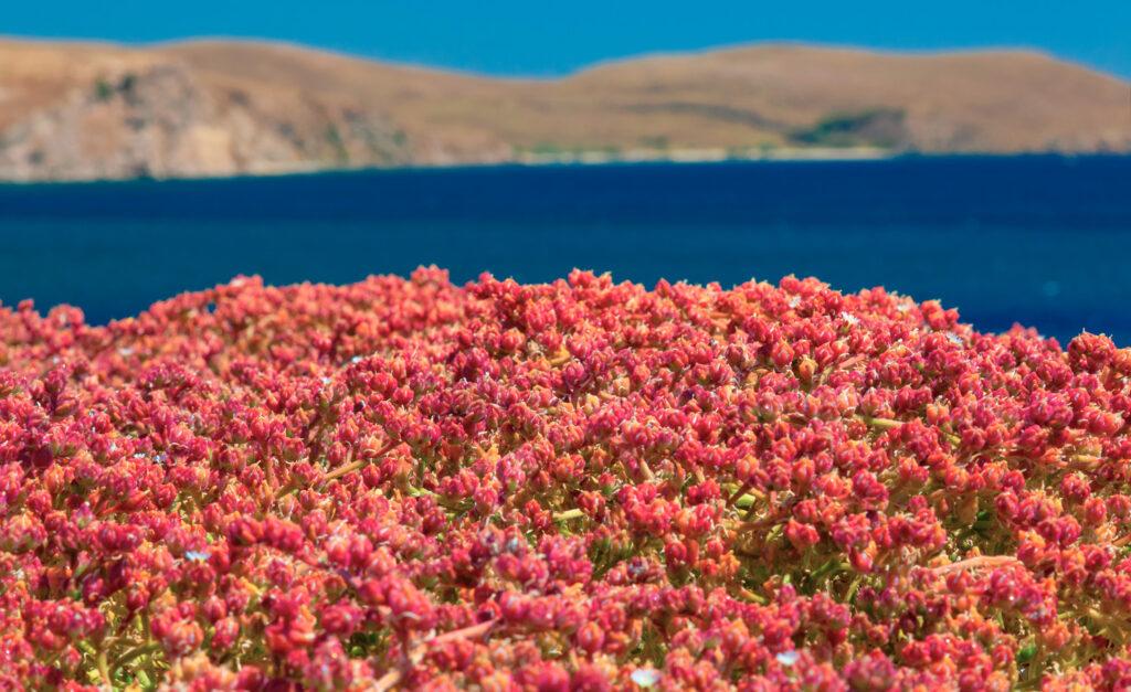 Beautiful coastline with flowers in Lemnos, North Aegean island, Greece