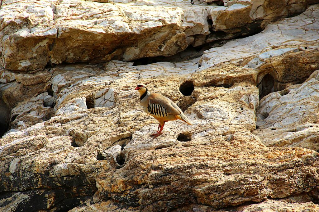 Birding in Greece - Partridge on cliffs