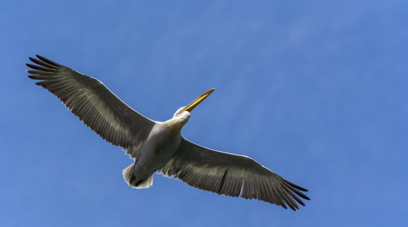 Birding in Greece - Pelican in the air