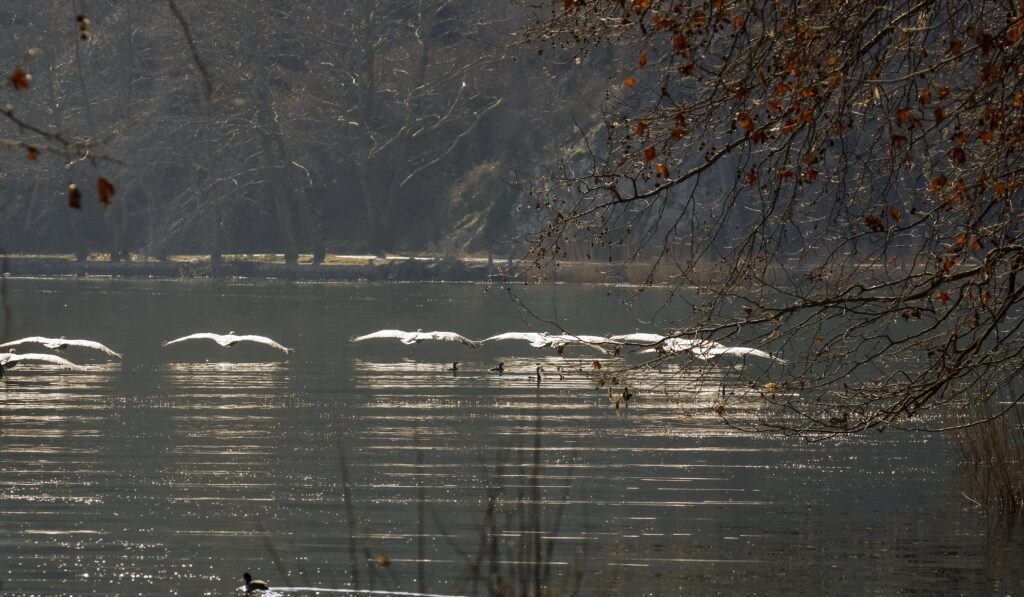 Birding in Greece - Pelicans in Kastoria Lake