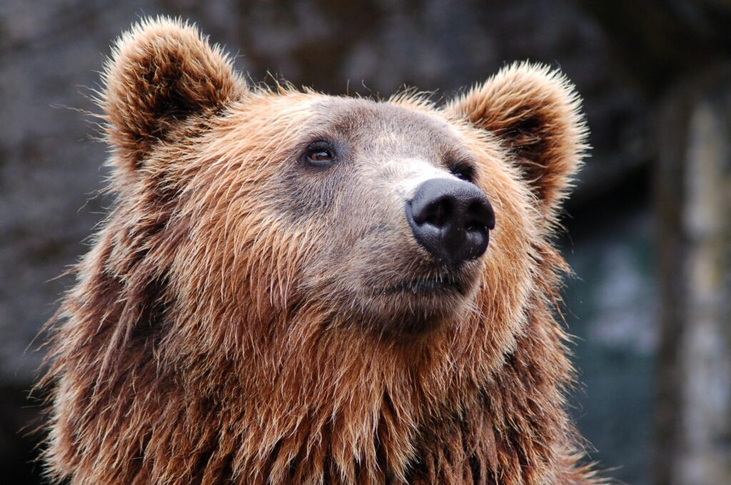 brown-bear-pindus-mountains-epirus-greece