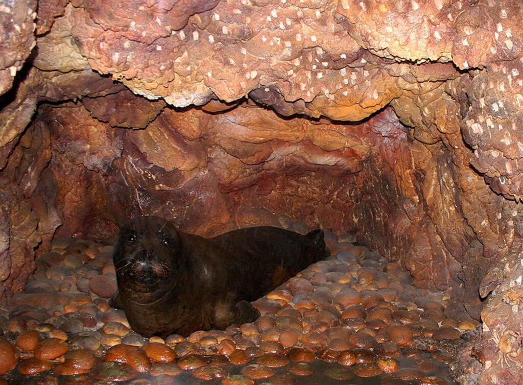 Mediterranean Monk Seal, Donoussa, Smaller Cyclades Greece