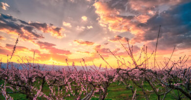 Aerial view of the orchard of bloomed peach trees at sunset in spring in the plain of Veria in northern Greece