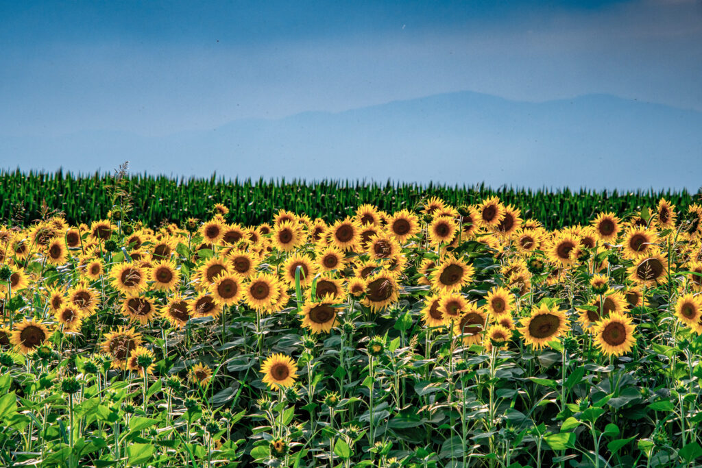 Agriculture concept of Sunflowers and fields against a cloudy sunset sky, Edessa, Macedonia Greece