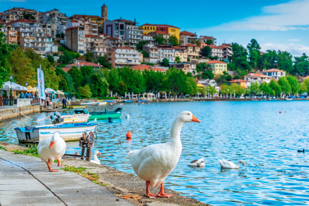 White geese with Kastoria town on background, West Macedonia, Greece