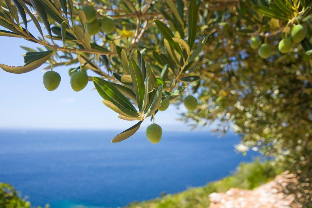 Olive tree Messinia Greece