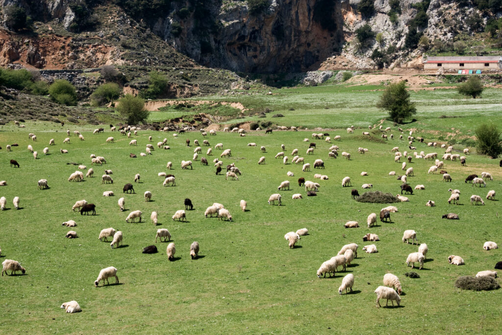 Sheep grazing in Crete. Lassithi Plateau - Its fertile, crater-like land produces a variety of fruit and vegetables - Greece