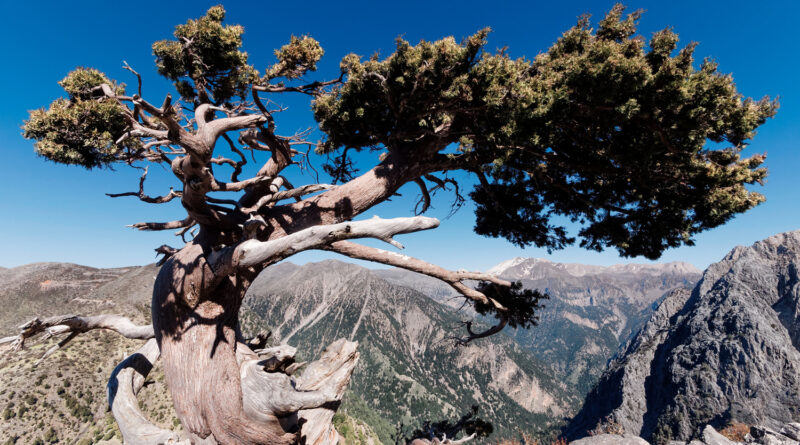 Aged mediterranean cypress (Cupressus sempervirens) in den White Mountains (Lefka Ori) of Western Crete above the high plateau of Omalos at 1400m altitude