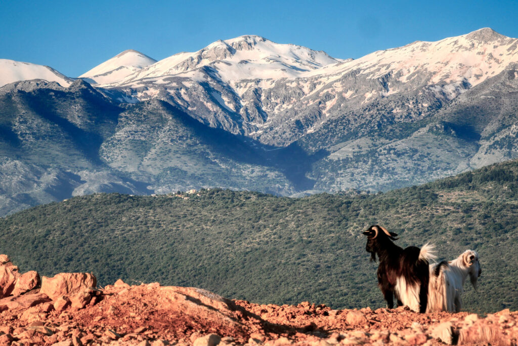 Goat and view towards Lefka Ori from Aptera village in Chania region, Crete Greece