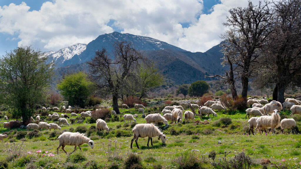 Sheep flock at the high plateau of Omalos in the White Mountains (Lefka Ori) of Western Crete, Greece